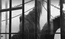 Orangutan grip strength bar hanging