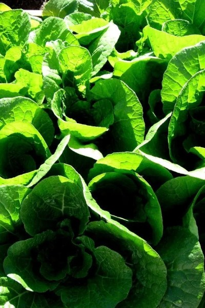 4 Easy Recipe Ideas for Napa Cabbage