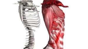 肋骨の骨格と筋肉