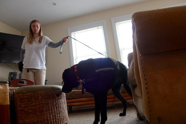 Stephanie Koch trains with Joker in the living room of a rental property in Sandbridge, where a vial containing live bed bugs has been hidden. [John-Henry Doucette/The Princess Anne Independent News]