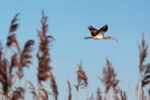An ibis is seen in flight over the refuge. [John-Henry Doucette/The Princess Anne Independent News]