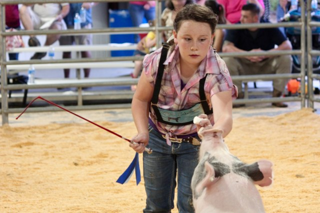"Grace Schratwieser, 10, works with her hog during the auction, even employing a trick of the trade — marshmallows. She said she likes the responsibility of 4-H. ""I like how I get to meet new people,"" she said, adding that she hopes to raise a steer next year. [John-Henry Doucette/The Princess Anne Independent News]"