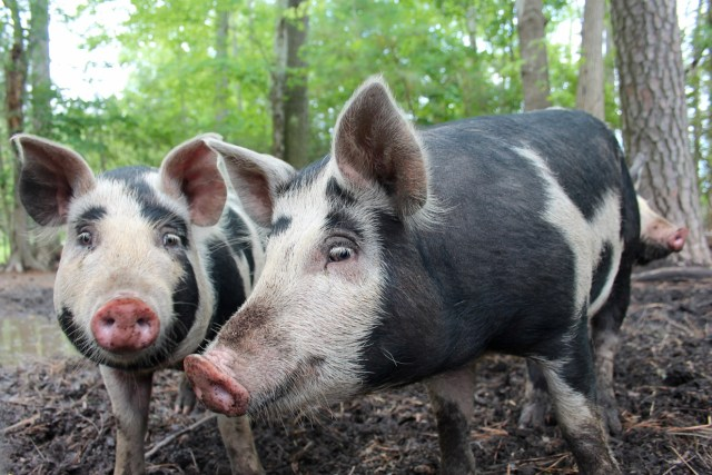The pig raised at Cartwright Family Farms in Pungo have room to roam. [John-Henry Doucette/The Princess Anne Independent News]