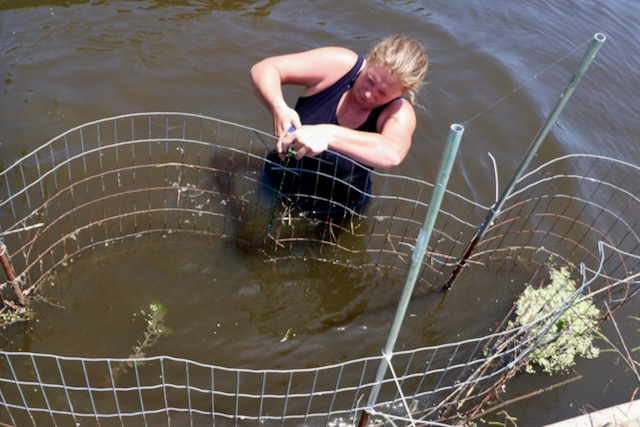 Project studying submerged aquatic vegetation in Back Bay shows promise, needs funding
