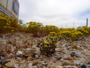 Namaqualand Flowers