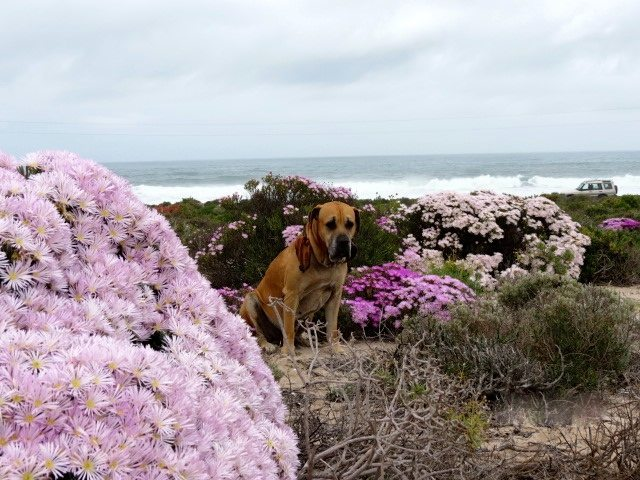 Namaqualand flowers | west coast road trip