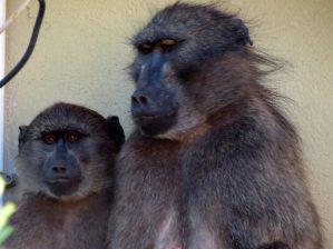 Baboons | November travel blog update