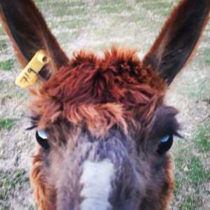 Lily the Alpaca | Princess In A Caravan travel blogger