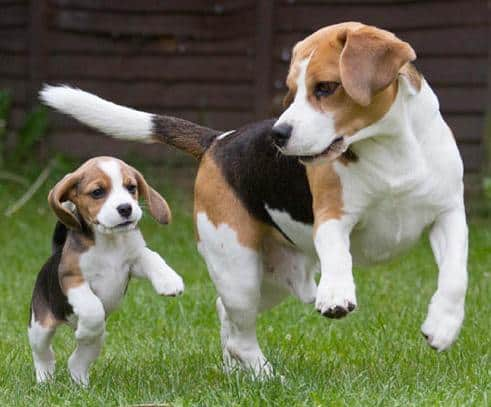 beagleteaching