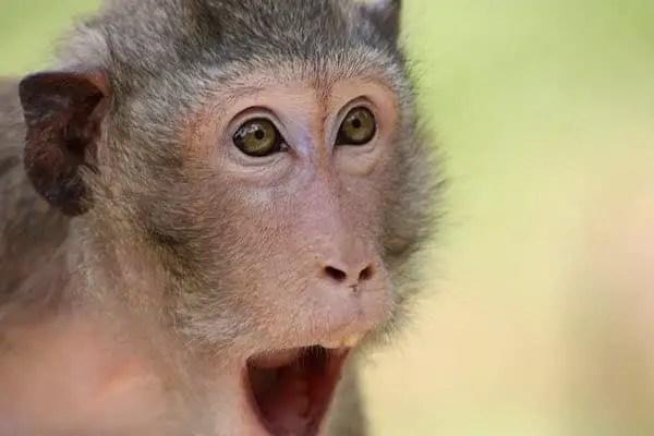 Surprised Monkey Image