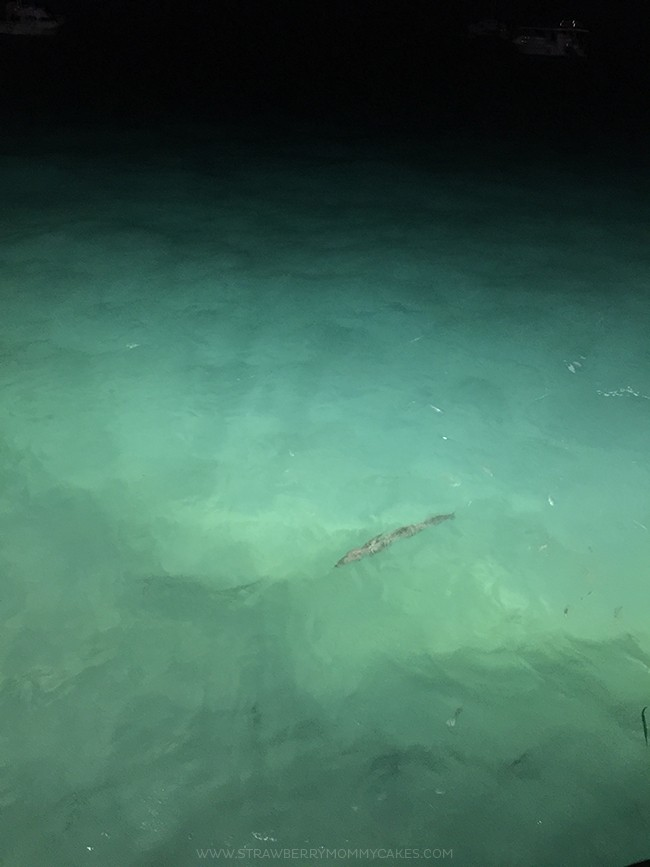 Giant barracuda in the water at night