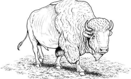 Coloring pages: Buffalo