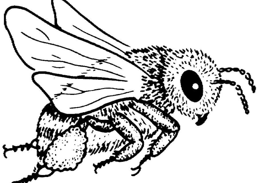 disegni da colorare  disegni da colorare  api stampabile  gratuito  per bambini e adulti