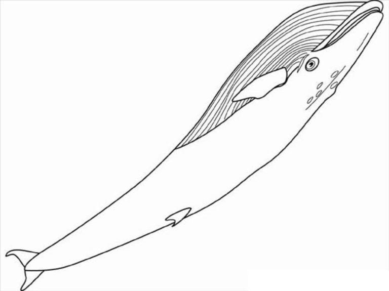 ausmalbilder ausmalbilder blauwal zum ausdrucken
