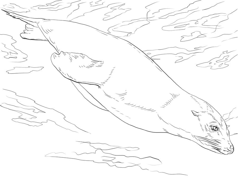 Coloring pages: Sea lions Animals Coloring pages Mammals