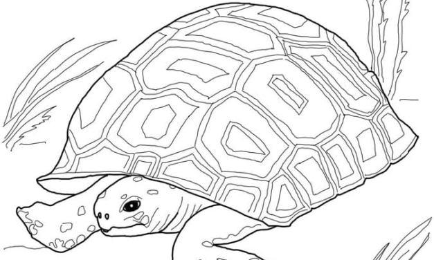 Ausmalbilder: Schildkröte