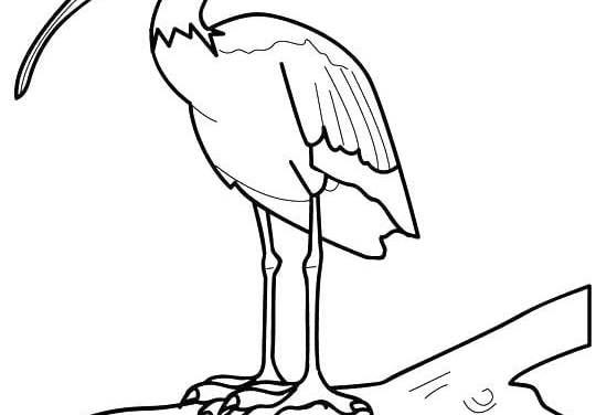 Ausmalbilder: Ibis