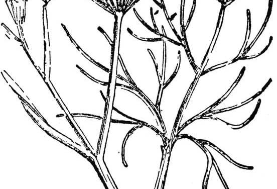 Coloring pages: Fennel