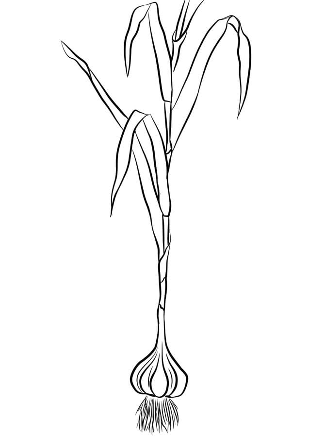 Coloring Pages Coloring Pages Garlic Printable For Kids