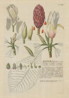 """Ehret: Magnolia. 1765. An original colour antique copper engraving. 12"""" x 18"""". [FLORAp1279]"""
