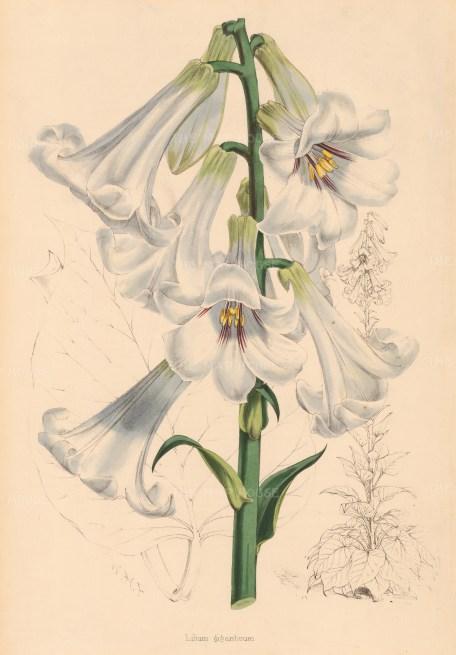 Lilium Giganteum.