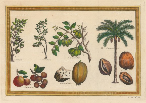 Cocunut Tree and Cocos: With Orange (Tranja), Carandas Plum and Star fruit (Carambolus) trees and fruit.