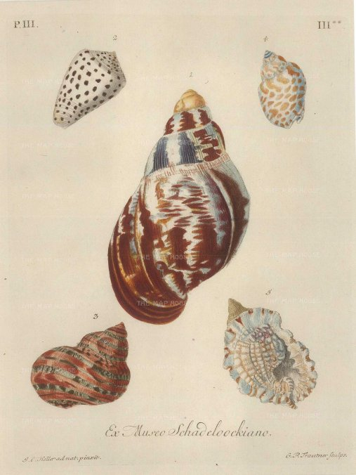 Knorr: Mollusc shells. 1770. An original hand-coloured antique copper-engraving. 7 x 9 inches. [NATHISp7199]