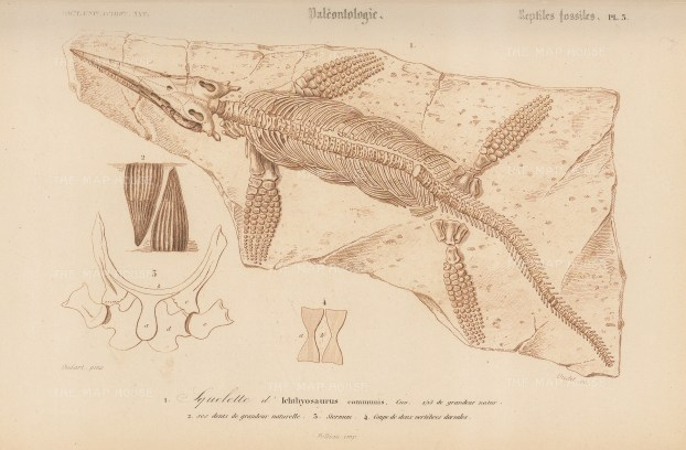 Paleontology: Iichthyosaurus: Fossil remains with skeletal details.