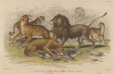 Lions: Asiatic Lion and Lioness, Bengal Tiger, Leopard and Jaguar.