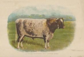 "Collingridge: Shorthorn Bull. 1903. An original antique chromolithograph. 102 x 8"". [NATHISp7447]"