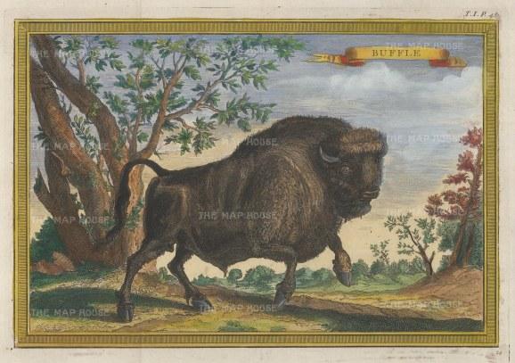 North American Buffalo having a gambol.
