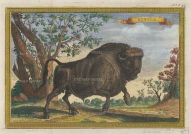 Bison: North American Buffalo having a gambol.