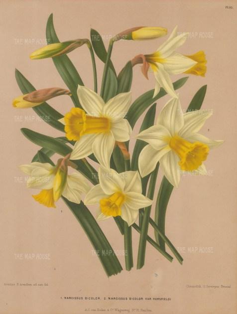 Narcissus bicolour and Narcissus bicolour var Horsfeldi.