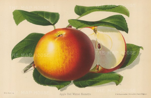 "Fitch: Apple, Red Winter Reinette. 1884. An original antique chromolithograph. 11"" x 7"". [NATHISp6912]"