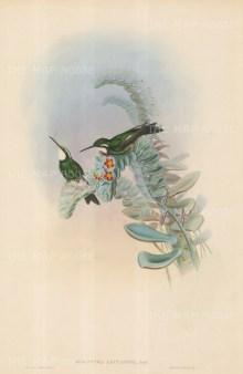 Hummingbirds: Oreopyra Leucaspis.
