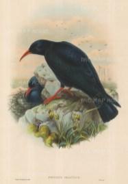 Chough: Fregilus Graculus, Red-billed Chough.