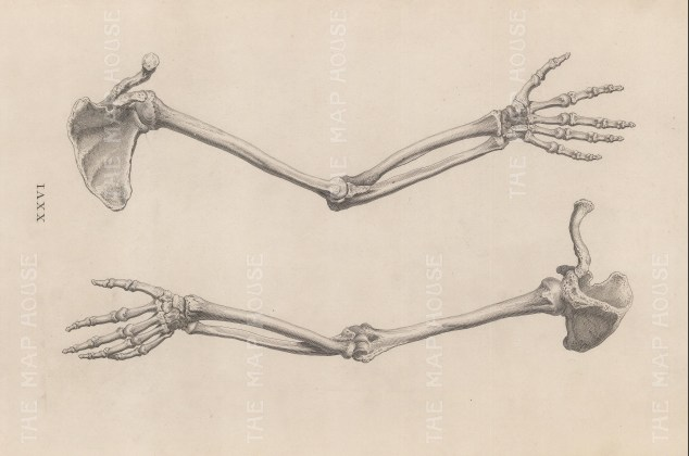 Arm: Posterior and anterior view of the scapula, humerus, radius, ulna and hand.