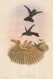Hummingbird: Hypuroptila Melanorrhoa, Black-vented Plumeleteer.