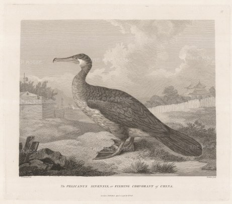 Cormorant: Pelicanus Sinensis. Fishing Cormorant of China.