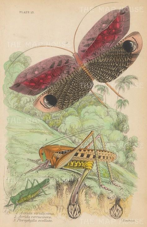 Acrida Viridissima, Acrida verrucivora, Pterophylla ocellata.