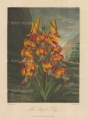 The Superb Lily, also known as the Turk's Cap, set in a romanticised North American landscape.
