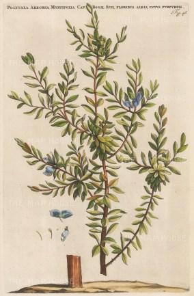 """Commelin: Sweet Pea. 1697. A hand coloured original antique copper engraving. 10"""" x 15"""". [FLORAp3152]"""