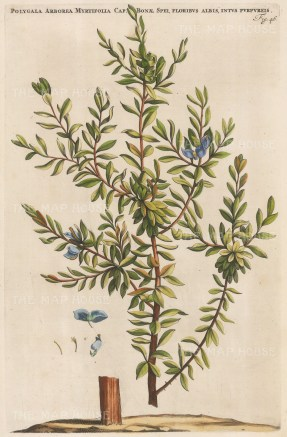 "Commelin: Sweet Pea. 1697. A hand coloured original antique copper engraving. 10"" x 15"". [FLORAp3152]"