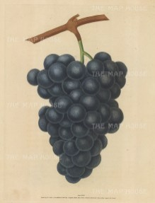 Grapes: Black Hamberg.