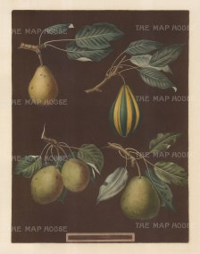 Pears: Virgoulle, Striped Vert Longue, Swan's Egg and Pear d'Auch.