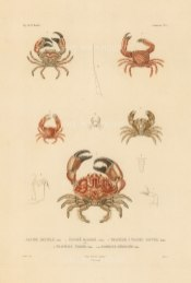 Crustaceans: Xanthe Dentele, Panope Marbre, Trapezie a tache jaunes, Trapezie Tigre, Domecie Herissee. From the voyage of La Bonite 1836-7.
