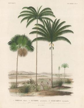 SOLD. Palms (Attalea): Thrinax chuco, Euterpe preccatoria and Oenocarpus tarampabo with Paraguayans in straw hats.