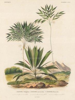 SOLD Palms (Geonoma): Geonoma Orbigninia, Geonoma macrostachya and Geonoma Demarcsdtii.