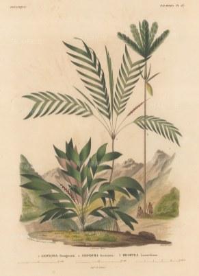 SOLD Palms (Geonoma): Geonoma Brongniartu, Geonoma Jussicuana and Iriartea Lamarckianai.