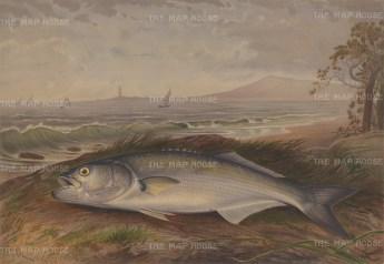 Cod: Atlantic Cod on the shore.